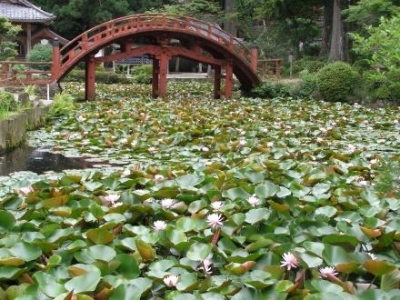 太鼓橋の下の池では蓮の花がつぼみに!