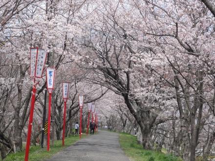 桜のトンネルは満開までもう少しかかりそう
