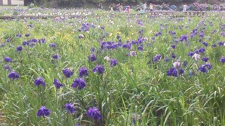 6月は菖蒲が見頃を迎えます!!